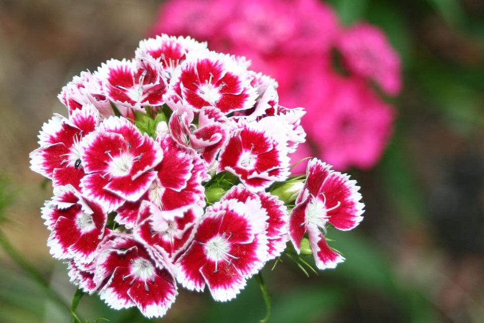 5 flores de otoño que no pueden faltar en tu hogar: Clavel