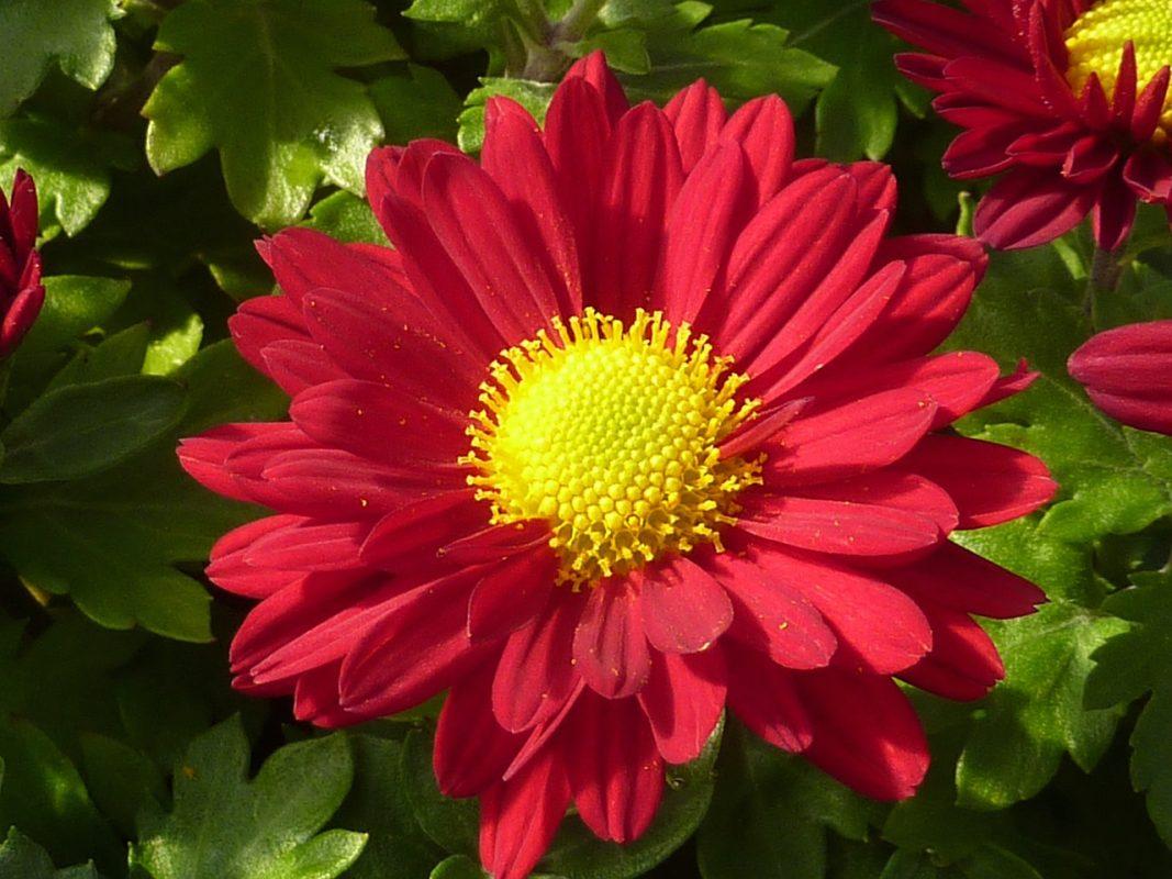 5 flores de otoño que no pueden faltar en tu hogar: Crisantemo