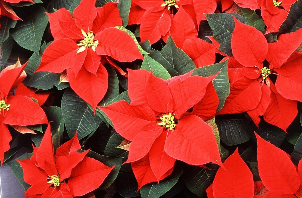5 flores de otoño que no pueden faltar en tu hogar: Flor de Pascua