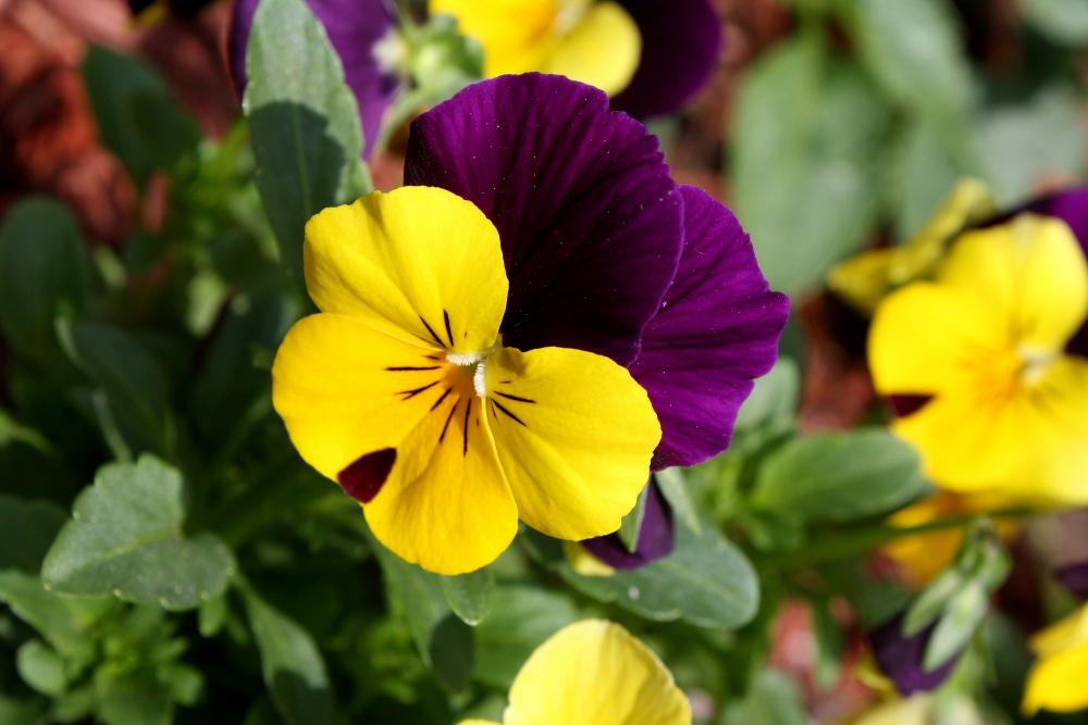 5 flores de otoño que no pueden faltar en tu hogar: Pensamiento o viola tricolor